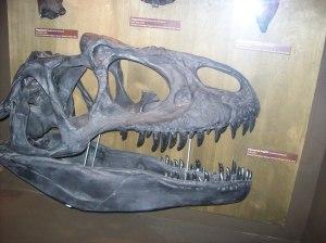 Allosaur Fossil Skull
